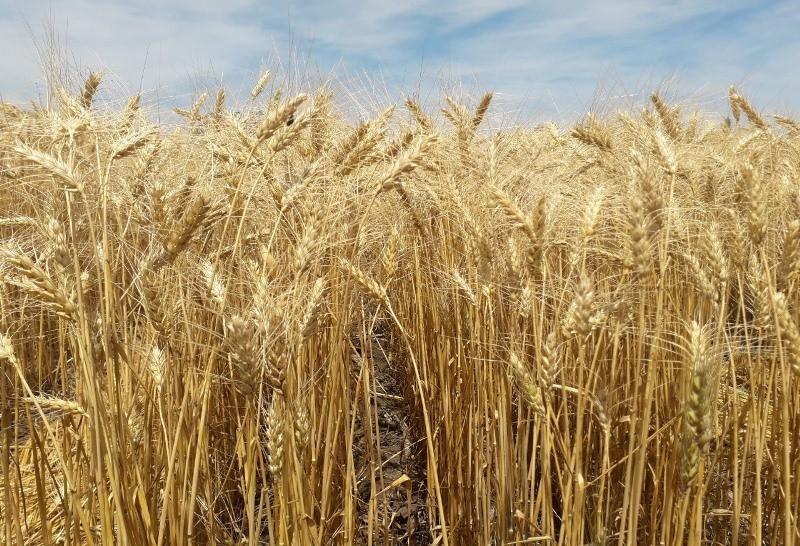 Los cereales de invierno tienen mapa de subregiones actualizado