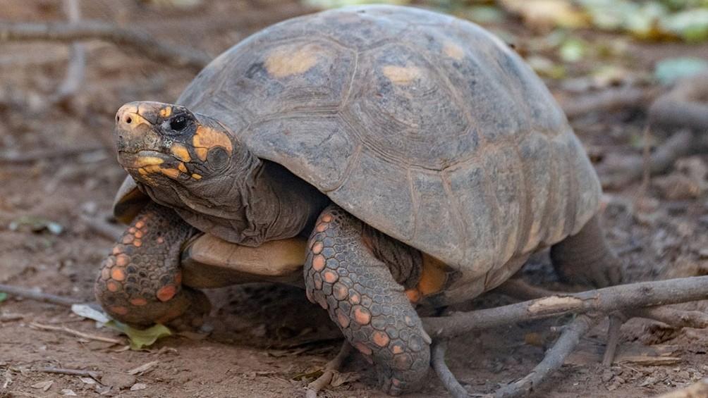 Reingresaron a la tortuga yabotí al Parque Nacional El Impenetrable chaqueño