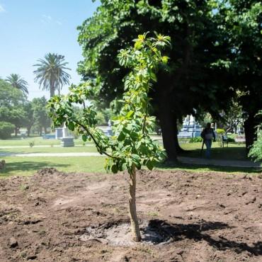 Nuevo ombù en la Plaza Rivadavia