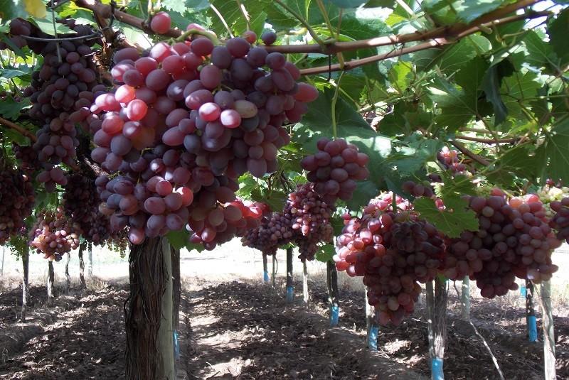 Desarrollan nueve variedades de uva de mesa sin semilla