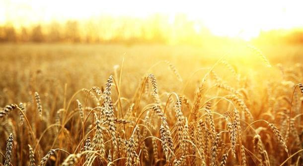 En Tres Arroyos Este miércoles 10, cientos de productores trigueros rechazaran la política oficial impuesta sobre el cereal