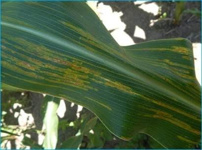 Así están el maíz y la soja
