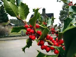 Los secretos ocultos del muérdago, la planta de la Navidad