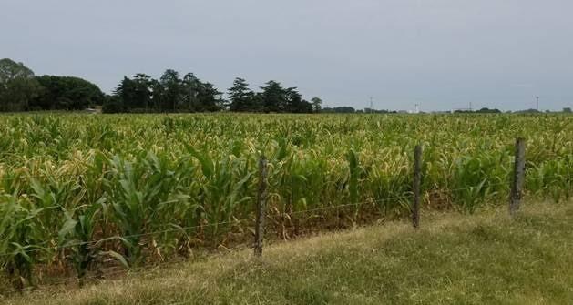¿Qué hacer con los maíces afectados por calor y sequía? Recomendaciones para el ensilado