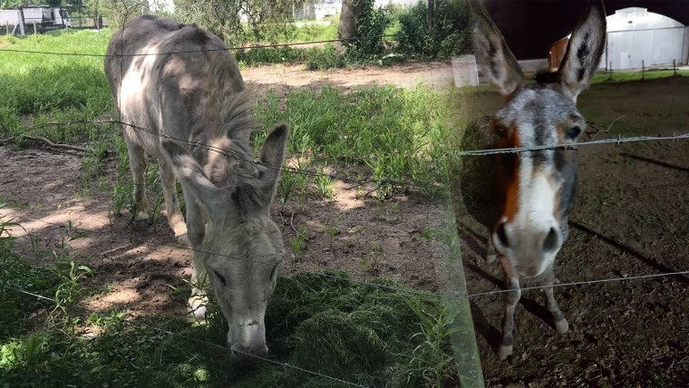 Robaron los dos burros que identifican a la yerba Cachamai