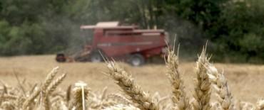 Cae aún más la siembra de trigo en la zona Núcleo