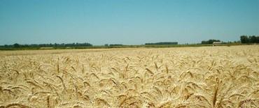 Disminuyen las superficies con trigo