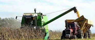 Se cosechó casi el 96% del maíz