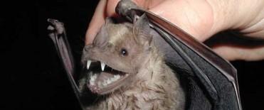Los murciélagos tienen órganos sensoriales sofisticados