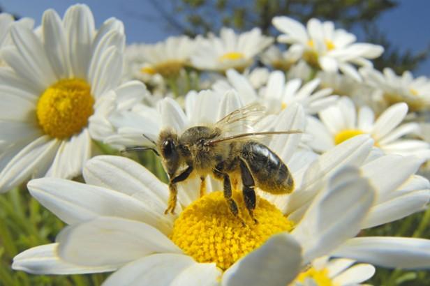 La desaparición de abejas preocupa a cientificos