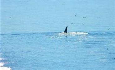Ya llegaron las primeras ballenas a Puerto Madryn